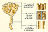 Prostateduct