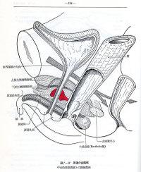 Sphincteranatomy