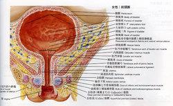 femalebladder