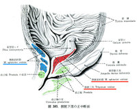 Trigoneanatomy