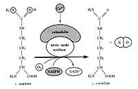 Nosynthetase
